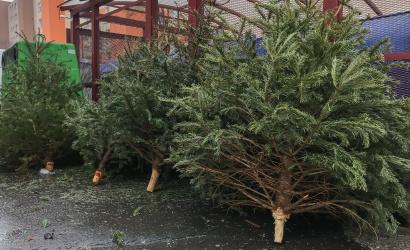 Vianočné stromčeky sa zbierajú do konca januára