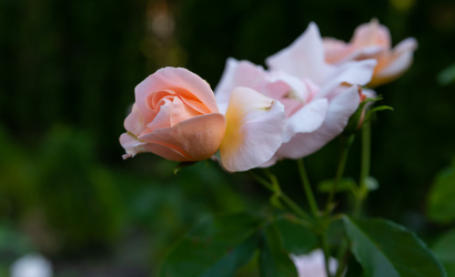 Jesenná krása ukrytá v lupeňoch ruží
