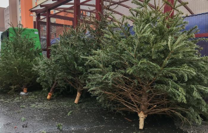 Tento týždeň už začína zber stromčekov