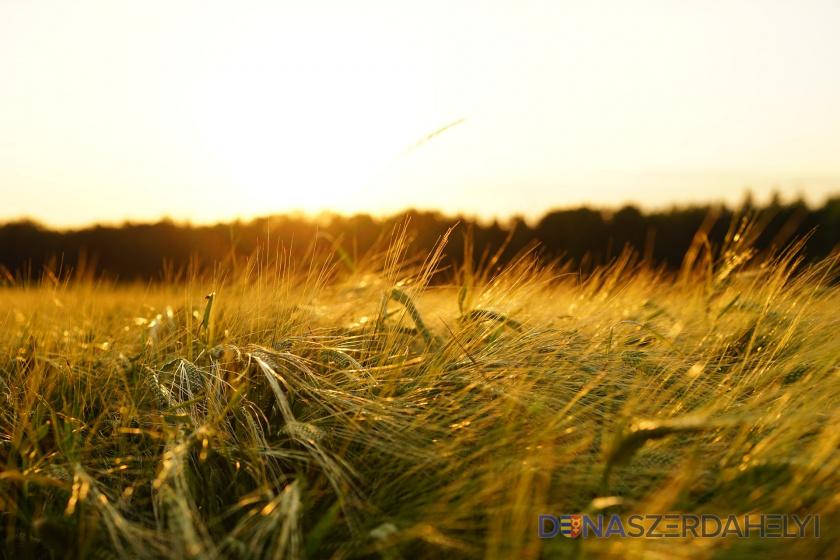 Vývoj počasia znížil očakávania farmárov v prípade úrody obilia