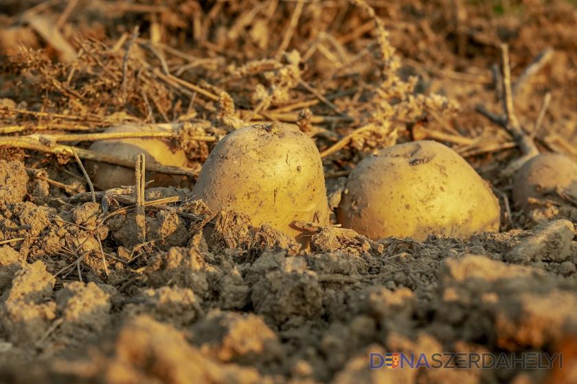 Zemiaky by sa na Slovensku mohli prestať pestovať